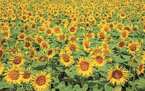 ESG sunflowers